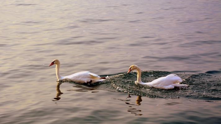 swan-2881229_1920
